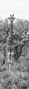 Awesome South Africa Collection Panoramic - Giraffes in Savannah II B&W by Philippe Hugonnard