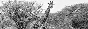 Awesome South Africa Collection Panoramic - Giraffes in Savannah III B&W by Philippe Hugonnard