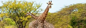 Awesome South Africa Collection Panoramic - Giraffes in Savannah III by Philippe Hugonnard