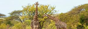 Awesome South Africa Collection Panoramic - Giraffes in Savannah by Philippe Hugonnard