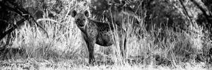 Awesome South Africa Collection Panoramic - Hyena B&W by Philippe Hugonnard