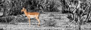 Awesome South Africa Collection Panoramic - Impala Antelope II by Philippe Hugonnard