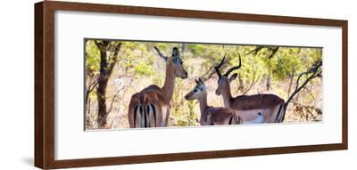 Awesome South Africa Collection Panoramic - Impala Family