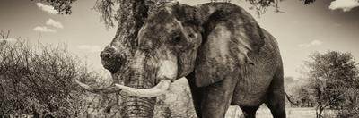 Awesome South Africa Collection Panoramic - Male African Elephant II