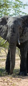 Awesome South Africa Collection Panoramic - Old African Elephant by Philippe Hugonnard