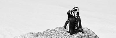 Awesome South Africa Collection Panoramic - Penguins Kissing B&W