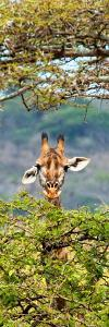Awesome South Africa Collection Panoramic - Portrait of Giraffe Peering through Tree II by Philippe Hugonnard