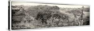 Awesome South Africa Collection Panoramic - Three Giraffes III by Philippe Hugonnard