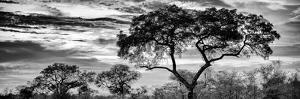 Awesome South Africa Collection Panoramic - Tree Silhouetted at Sunset B&W by Philippe Hugonnard
