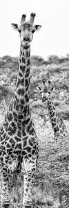 Awesome South Africa Collection Panoramic - Two Giraffes Portrait B&W by Philippe Hugonnard