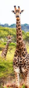 Awesome South Africa Collection Panoramic - Two Giraffes Portrait II by Philippe Hugonnard