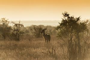 Awesome South Africa Collection - Savanna Landscape and Kudu at Sunset by Philippe Hugonnard