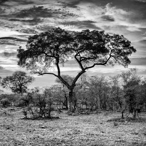 Awesome South Africa Collection Square - Acacia Tree at Sunrise B&W by Philippe Hugonnard