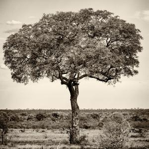 Awesome South Africa Collection Square - Acacia Tree by Philippe Hugonnard