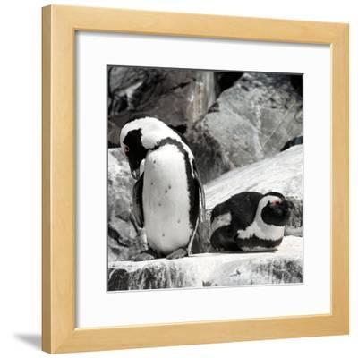 Awesome South Africa Collection Square - African Penguin II