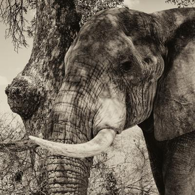 Awesome South Africa Collection Square - Close-Up of Elephant Sepia