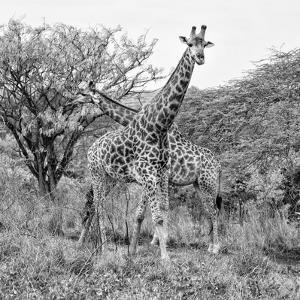 Awesome South Africa Collection Square - Crossing Giraffes B&W by Philippe Hugonnard