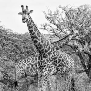 Awesome South Africa Collection Square - Crossing Giraffes II B&W by Philippe Hugonnard