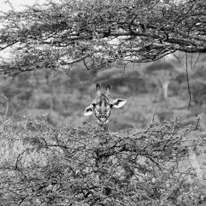 Awesome South Africa Collection Square - Curious Giraffe B&W by Philippe Hugonnard