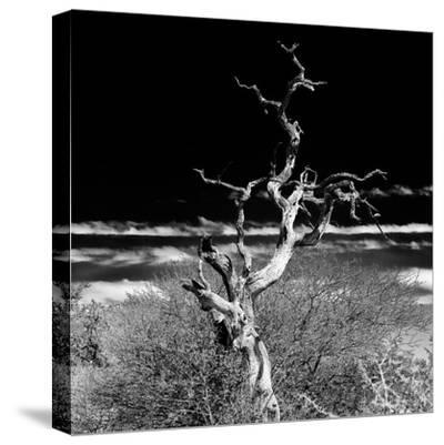 Awesome South Africa Collection Square - Dead Acacia Tree II B&W