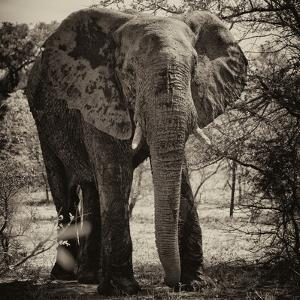 Awesome South Africa Collection Square - Elephant Portrait II by Philippe Hugonnard