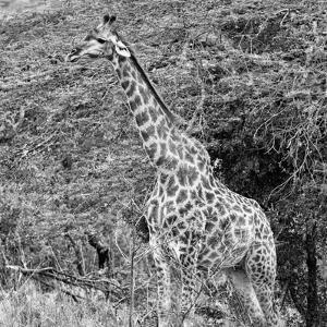 Awesome South Africa Collection Square - Giraffe in the Bush II by Philippe Hugonnard
