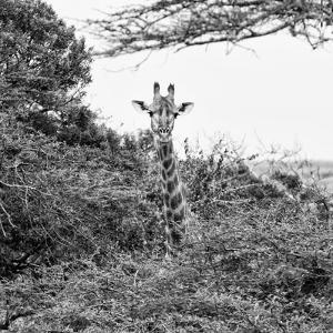 Awesome South Africa Collection Square - Giraffe in Trees B&W by Philippe Hugonnard