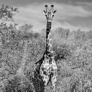 Awesome South Africa Collection Square - Giraffe Portrait B&W by Philippe Hugonnard