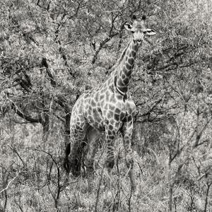 Awesome South Africa Collection Square - Giraffe Portrait III B&W by Philippe Hugonnard