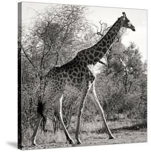 Awesome South Africa Collection Square - Giraffe Profile B&W by Philippe Hugonnard