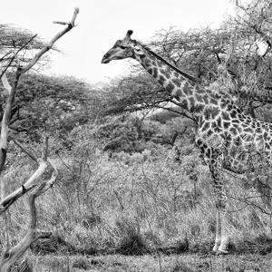 Awesome South Africa Collection Square - Giraffe Profile in Savannah B&W by Philippe Hugonnard