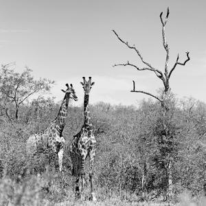 Awesome South Africa Collection Square - Giraffes in Savannah B&W by Philippe Hugonnard