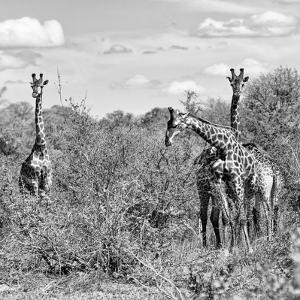 Awesome South Africa Collection Square - Herd of Giraffes B&W by Philippe Hugonnard