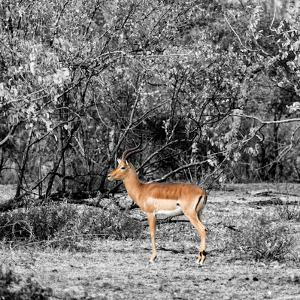 Awesome South Africa Collection Square - Impala in Savannah B&W by Philippe Hugonnard