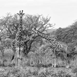 Awesome South Africa Collection Square - Look Giraffes B&W by Philippe Hugonnard