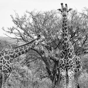 Awesome South Africa Collection Square - Look Giraffes II B&W by Philippe Hugonnard