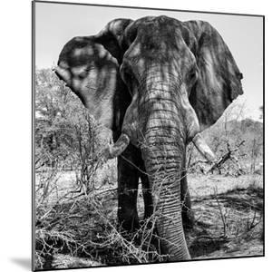 Awesome South Africa Collection Square - Portrait of African Elephant B&W by Philippe Hugonnard