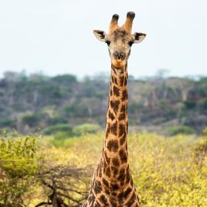 Awesome South Africa Collection Square - Portrait of Giraffe by Philippe Hugonnard