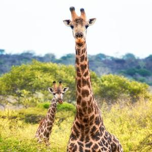 Awesome South Africa Collection Square - Portrait of Two Giraffes II by Philippe Hugonnard
