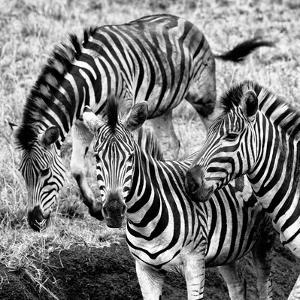 Awesome South Africa Collection Square - Three Zebras B&W by Philippe Hugonnard