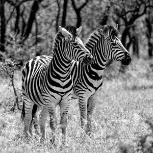 Awesome South Africa Collection Square - Two Burchell's Zebras B&W by Philippe Hugonnard
