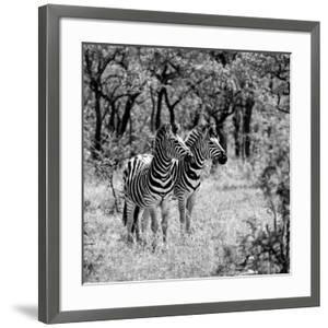 Awesome South Africa Collection Square - Two Common Zebras B&W by Philippe Hugonnard