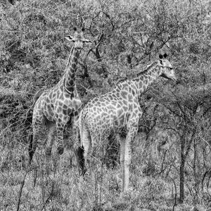 Awesome South Africa Collection Square - Two Giraffes B&W by Philippe Hugonnard