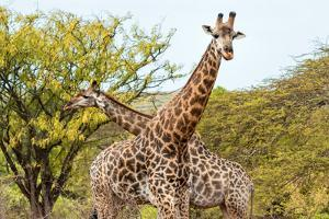 Awesome South Africa Collection - Two Giraffes VIII by Philippe Hugonnard