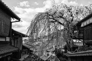 Black Japan Collection - Kyoto Cherry Blossoms by Philippe Hugonnard