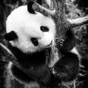 China 10MKm2 Collection - Giant Panda Baby by Philippe Hugonnard