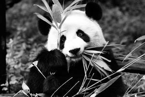 China 10MKm2 Collection - Giant Panda by Philippe Hugonnard
