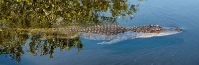 Crocodile - Everglades National Park - Unesco World Heritage Site - Florida - USA by Philippe Hugonnard