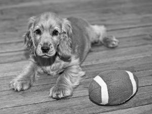 Dog Breeds - Cocker Spaniel - Puppies - English Cocker by Philippe Hugonnard