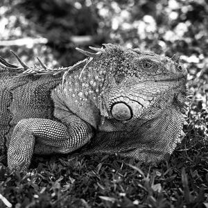 Green Iguana - Florida by Philippe Hugonnard